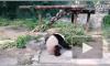 Видео из Китая: Посетители зоопарка забросали камнями панду