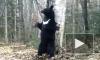 """В Приморье зажигательный танец медведя сняли на видео, в нацпарке """"Земля леопарда"""" гималайский медведь плясал хип-хоп"""