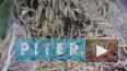 Видео не для слабонервных: гусеницы напали на Петербург