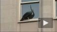 Сбежавший из зоопарка павлин пытался совершить суицид