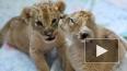 На стоянке в Петербурге нашли троих львят. Зоопарк ...