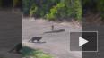 Жестокая схватка мангуста и кобры попала на видео