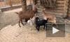 В Ленинградском зоопарке показали 9 карликовых и 2 нубийских новорожденных козлят