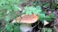 Смольный назвал цену грибам, ягодам и мху на новый сезон