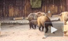 В Московском зоопарке родился малыш краснокнижного сычуаньского такина