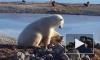 Житель Канады снял на видео «нежную дружбу» белого медведя и пса