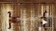 Редких казарок прикормили в пруду Парка Победы