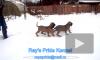 Фила бразилейро (бразильский мастиф) щенки