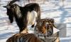 Популярного тигра Амура отправят в парк Краснодарского края