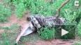 Туристы в Шри-Ланке сняли на видео, как питон полностью ...