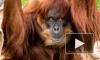 В Австралии усыпили самого старого орангутана в мире