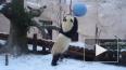 Видео: В Московском зоопарке панды познакомились со снег...