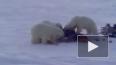 Белые медведи покусились на мясо оленеводов