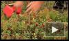 Где можно собирать ягоды - чернику, клюкву и бруснику - в Ленинградской области