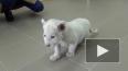 В Ярославском зоопарке показали белоснежного львенка ...