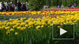 Фестиваль тюльпанов на Елагином острове стартует 19 мая