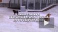 Петербуржцы пожаловались на свору диких собак на Ручьёвс...