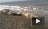 На берег Сахалина выбросило тушу неизвестного морского монстра с клювом и шерстью