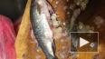 В Петербурге продают зараженную ленточными червями рыбу