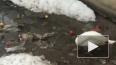 Лебедь, очищающий реку от мусора, попал на видео